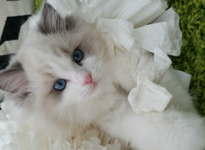 Available Kittens - Flower Baby Ragdolls
